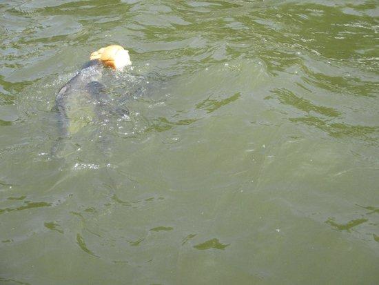Chao Phraya River: ikan makan roti depan kuil