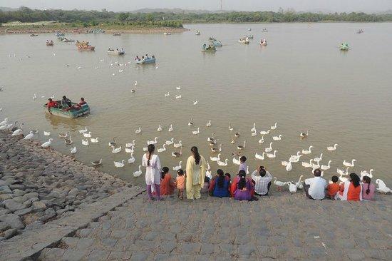 Sukhna Lake: swans demanding food