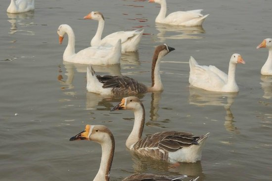 Sukhna Lake: swans close up