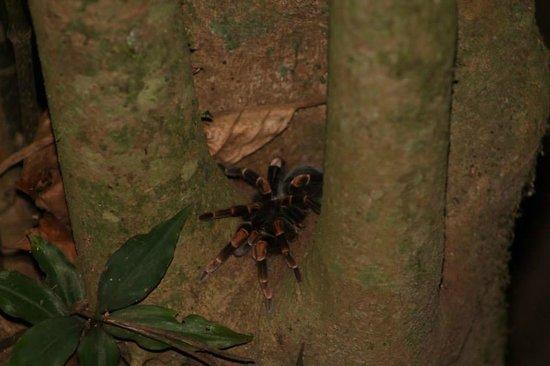 Forest Alive: tarantula