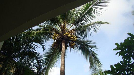 Taj Exotica Resort & Spa Goa: COCONUT TREE