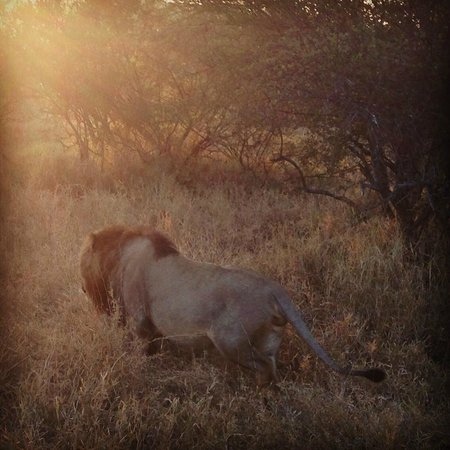 African Blue Day Tours: Lion sighting at sunrise