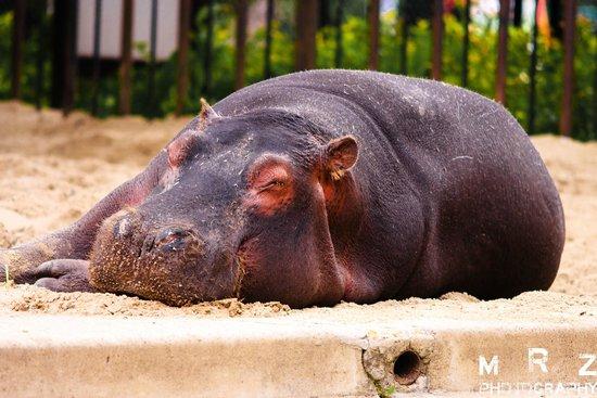 Wroclaw Zoo & Afrykarium : Hippo