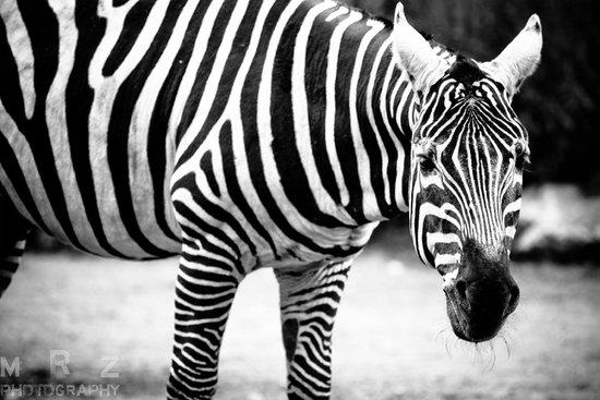 Wroclaw Zoo & Afrykarium : Zebra