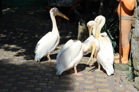 Ялта: Пеликаны на входе многих пугают)))