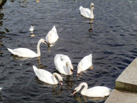 Rathaus: Swans