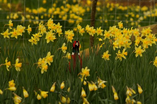Forest How Guest House: Hiding in the daffodils