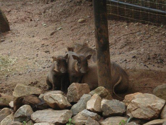 Zoo Atlanta: Pumba