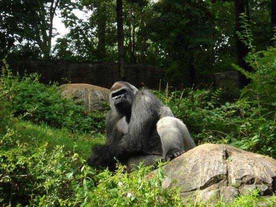 Zoo Atlanta: male gorilla