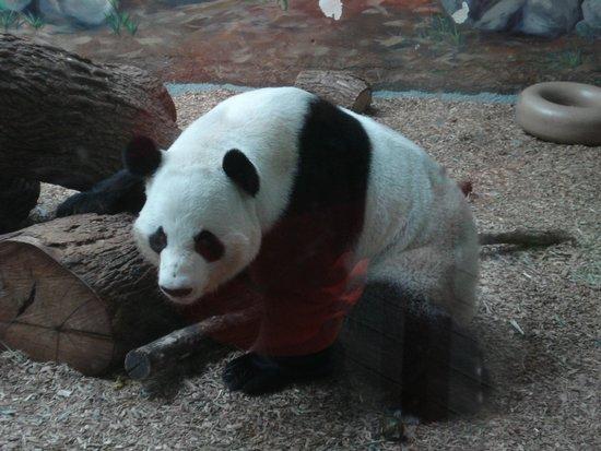Zoo Atlanta: panda