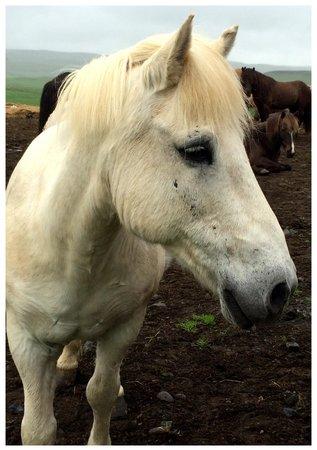 Nupshestar: Katla, die sehr aufmerksame Ponydame.