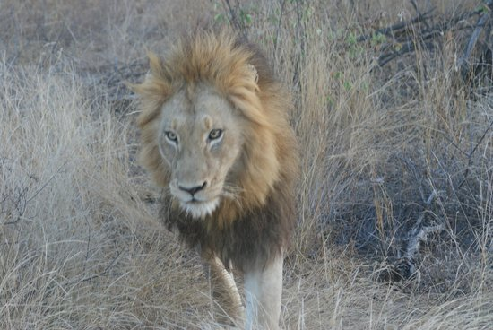 Naledi Bushcamp and Enkoveni Camp: Beautiful Adult Male just walking down the road