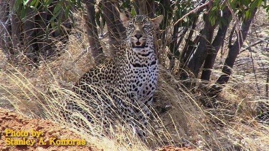 African Memorable Safaris: On a Kenya safari tour from Mombasa we came across this leopard in Tsavo West hunting dikdik.