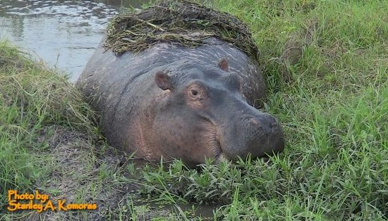 African Memorable Safaris: A hippo grazing in Amboseli-safari from Mombasa Kenya