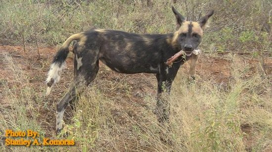 African Memorable Safaris: We came across about fifty wild dogs in Tsavo East NP on a safari from Mombasa Kenya