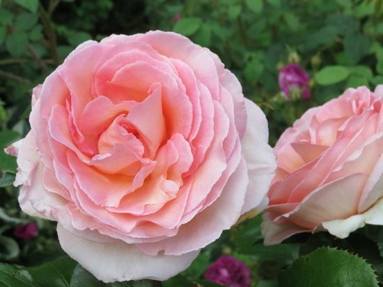 Holehird Gardens: Lovely scented rose. One of many.