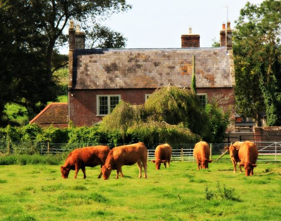 Tarrant Launceston, UK: Organic cows at Launceston Farm