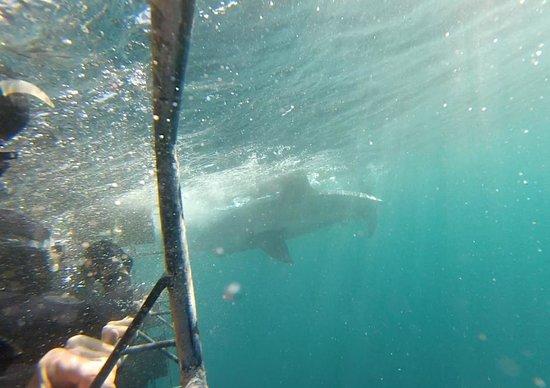 White Shark Projects : GoPro shark