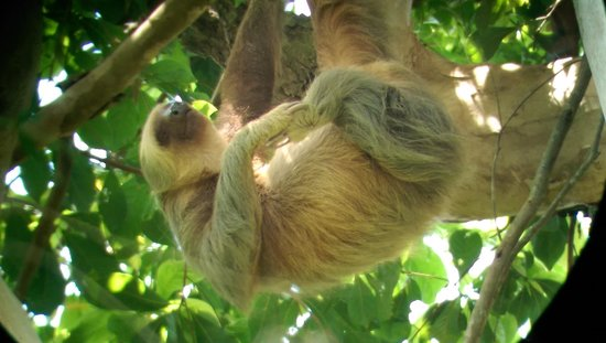 Two Toed Sloth taken through my Guides Telescope at Manuel Antonio National Park