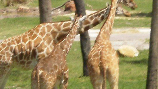 Disney's Animal Kingdom Villas - Kidani Village: Neckies