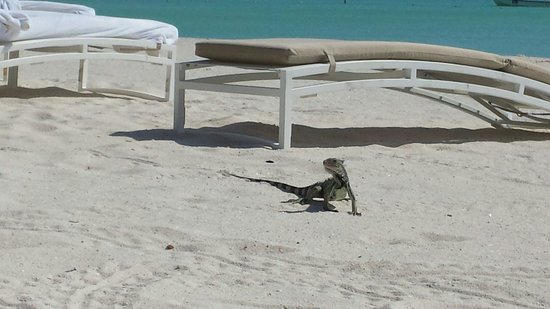 The Ritz Carlton Aruba Lizard