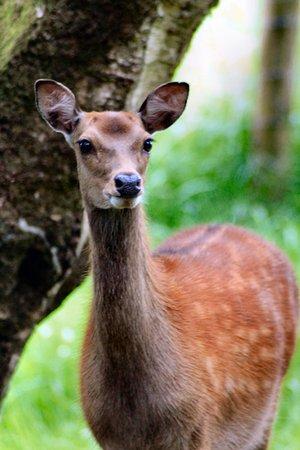 Gray Line Dublin : Fallow Deer