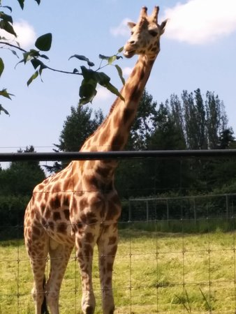 Greater Vancouver Zoo: Girrafe