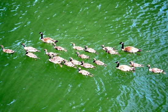 Tom McCall Waterfront Park: The family of ducks at the Willamete River