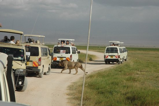 African Memorable Safaris: Lion walking aroun the cars in amboseli!