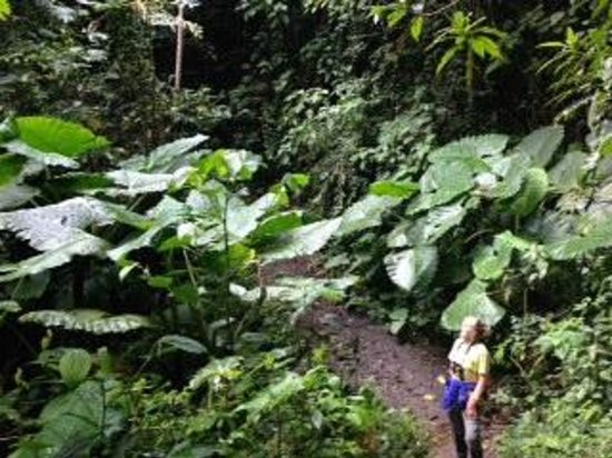 El Refugio de Intag Cloud Forest Lodge: Elephant Ear leaves so much bigger than me!
