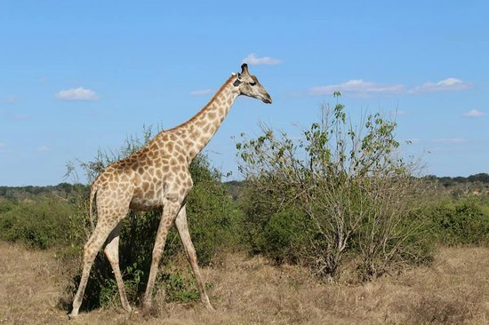 Ngoma Safari Lodge : Giraffe