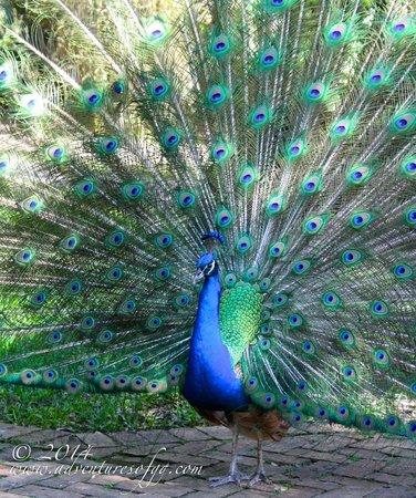 Male peacock at Flamingo Gardens.