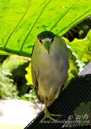 Flamingo Gardens: A black-crowned night heron resting in the shade.