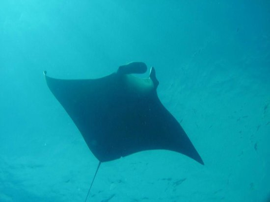 Small Hope Bay Lodge : The Manta ray!