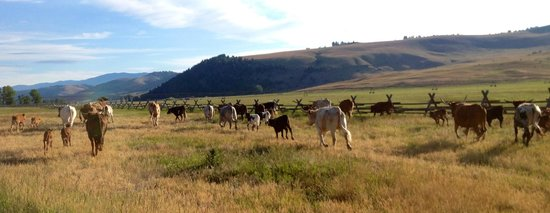 The Ranch at Rock Creek : The Cows