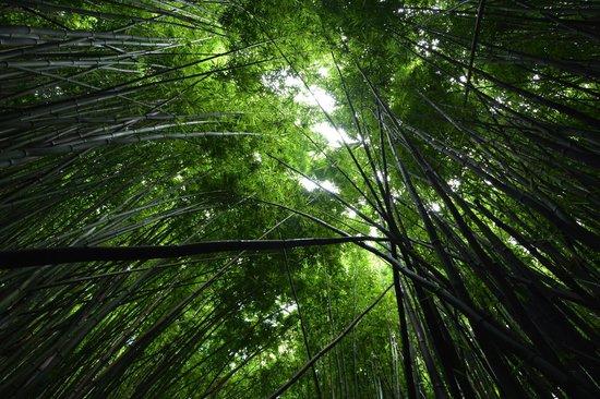 Pipiwai Trail : Bamboo Forest