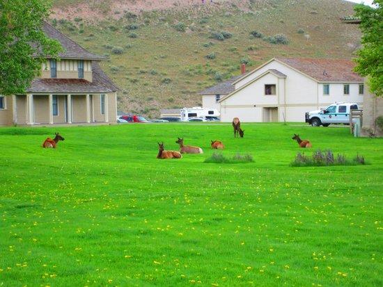 Mammoth Hot Springs Hotel & Cabins: Elk in Mammoth