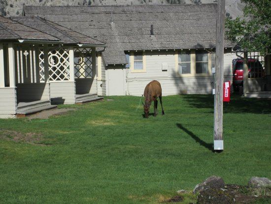 Mammoth Hot Springs Hotel & Cabins: Elk wandering in!