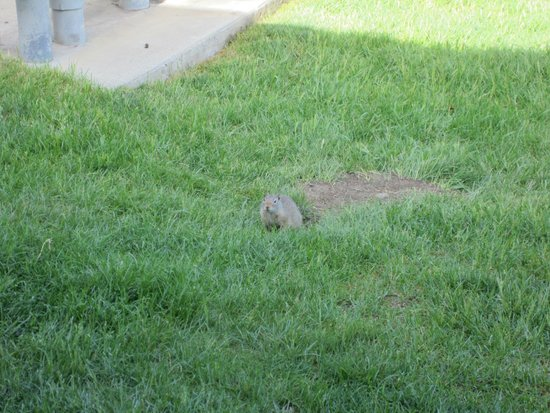 Mammoth Hot Springs Hotel & Cabins: Ground squirrels outside cabin