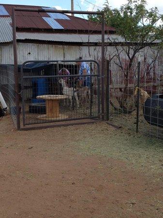 Pearce, AZ: Marcia's Goats