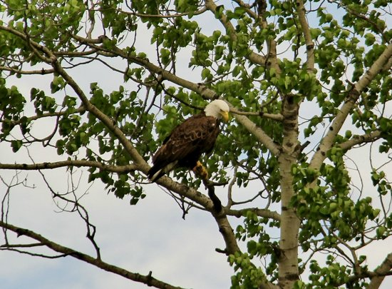 Timber Bay Resort and Cabins: Spotted an eagle while fishing