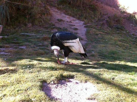 Santuario Animal de Cochahuasi: Condor