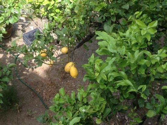 Hotel Ca D'Andrean: lemons in the garden were HUGE, view from terrace