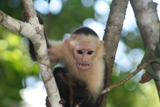 Bosque del Cabo Rainforest Lodge: White Faced Capuchiin