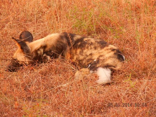 nThambo Tree Camp: Wild dog resting...looks like hyena...they were BEAUTIFUL and rare to see