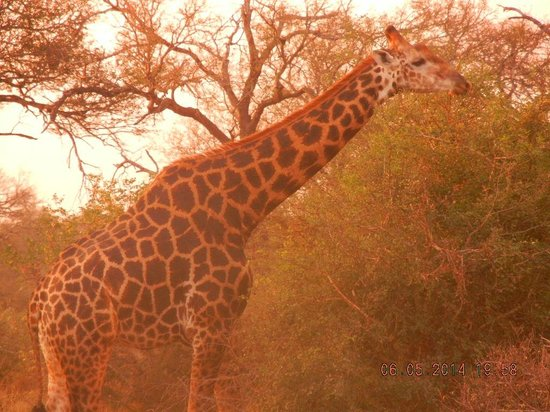 nThambo Tree Camp: Loved the zebras...more colorful in S. Africa than in Zimbabwe