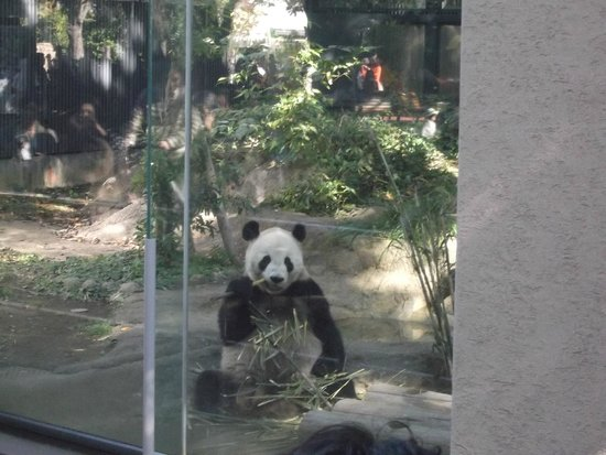 Ueno Zoo : Ling Ling the panda