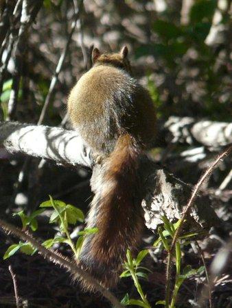 Fenland Trail: Red squirrel