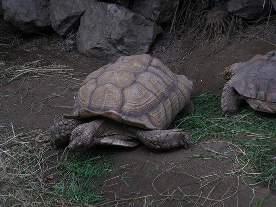 Victoria Butterfly Gardens: Big tortoises