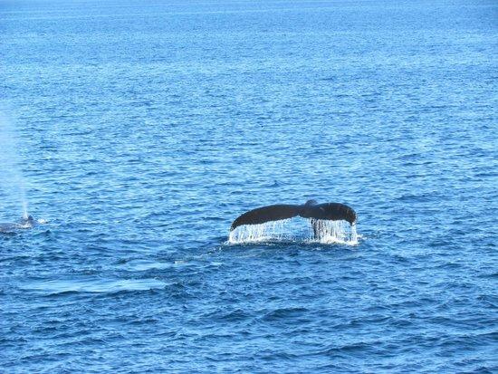 Bar Harbor Whale Watch Company: Humpback Whale